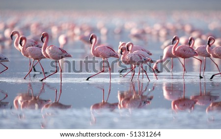 Lesser Flamingo, Lake Nakuru National Park, Kenya - stock photo