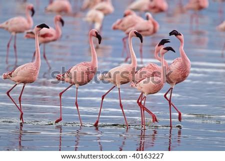 Lesser flamingos congregate by the thousands in the shallow alkaline waters of lake Nakuru in Lake Nakuru National Park, Kenya. - stock photo