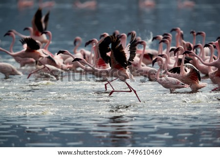 Lesser Flamingos takeoff, Lake Bogoria, Kenya