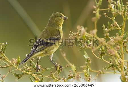 Lesser Goldfinch perched on a bush branches, facing opposite the viewer.  Tail feathers are seen.  Soft yellows and greens.