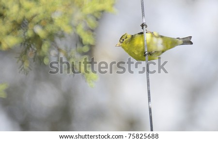 Lesser goldfinch perched sideways on a cable - stock photo
