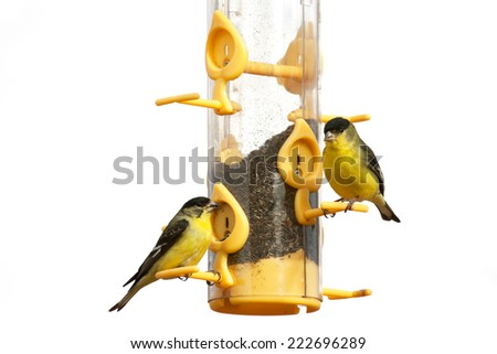 Lesser Goldfinch (Spinus psaltria) feed at a niger feeder in Arizona. White background cutout.