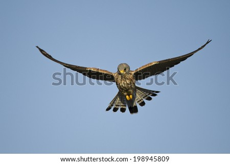 Lesser Kestrel, Falco naumanni, on migration, flying, Serengeti National Park, Tanzania, Africa - stock photo