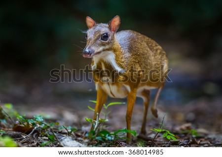 Lesser mouse-deer (Tragulus kanchil) walking  in real nature at Kengkracharn National Park,Thailand - stock photo