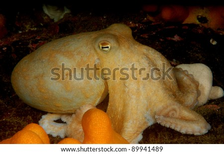Lesser octopus hunting on Scottish reef - stock photo