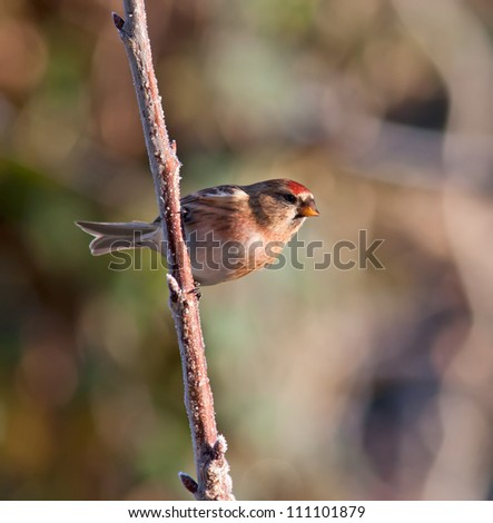 Lesser Redpoll (Carduelis cabaret) on a frosty branch. - stock photo