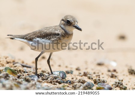 Lesser Sand Plover looking for food at beach - stock photo