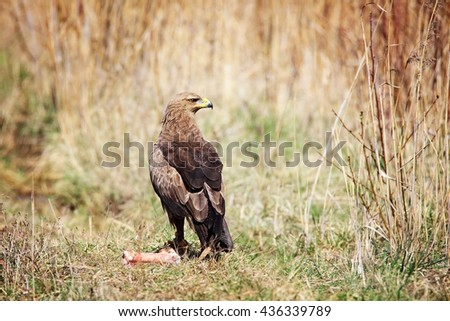 lesser spotted eagle sitting in grass next to prey - stock photo