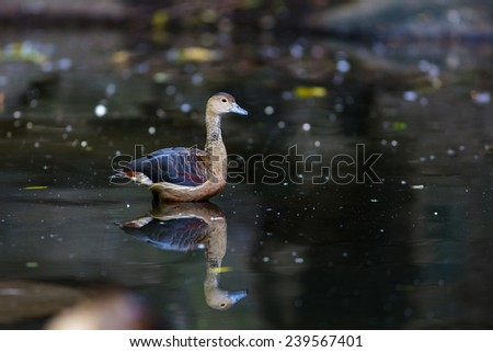 Lesser Whistling Duck (Dendrocygna javanica) swimming in the pool with water waves - stock photo