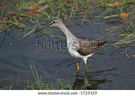 Lesser Yellowlegs bird hunting in the water - stock photo
