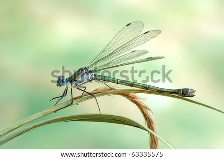 Lestes dryas (female) - stock photo