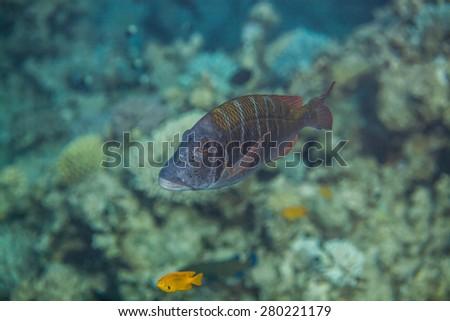 Lethrinus mahsena - sky emperor, mahsena imperor swimming in red sea - stock photo