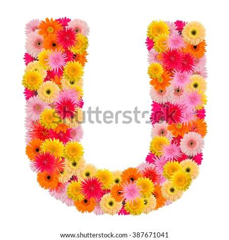 Letter U alphabet with gerbera  isolated on white background   - stock photo