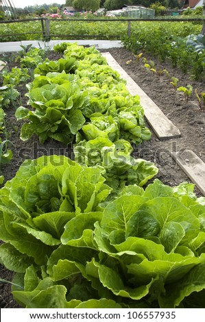 Lettuce and different other vegetables in an vegetable patch - stock photo