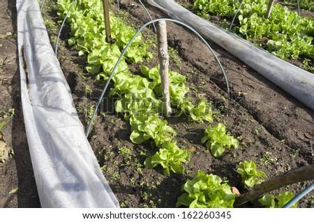 Lettuce and endive in a greenhouse in the organic vegetable garden Groentenhof in Leidschendam, Netherlands. - stock photo