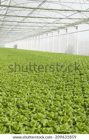 lettuce automated and modern greenhouses - stock photo
