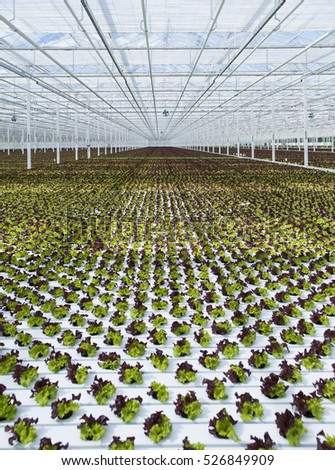 lettuce crops in hydroponic greenhouse