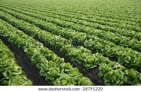 Lettuce farm background - stock photo