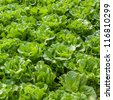 lettuce field - stock photo