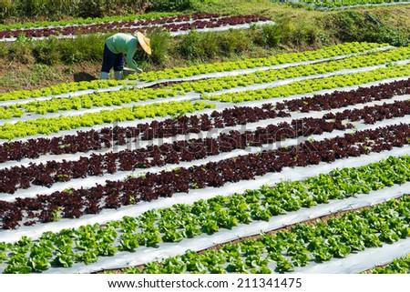 Lettuce Field in THAILAND - stock photo