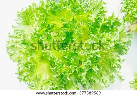 lettuce fresh  hydroponic closeup in greenhouse