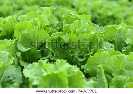 lettuce growing in the soil - stock photo