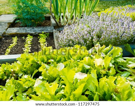 Lettuce, herb plants and onions in vegetable garden in summer.