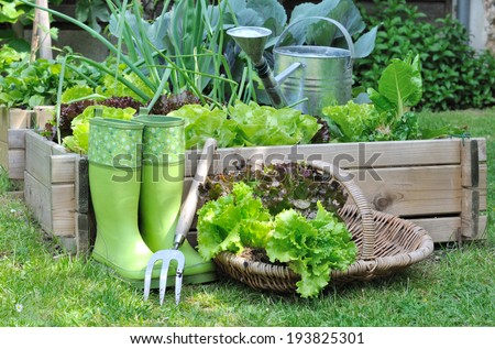 lettuce in a basket placed near a vegetable patch  - stock photo