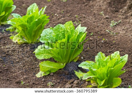 lettuce in a field in Rome Italy Urban vegetable garden - stock photo
