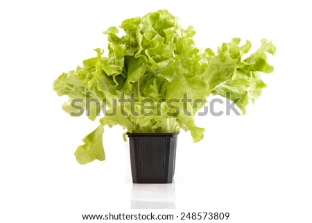 Lettuce in a plastic pot on a white isolated background