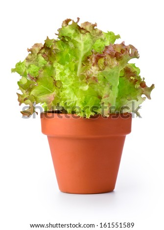 Lettuce in a pot isolated on a white background  - stock photo