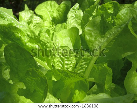 lettuce in garden - stock photo