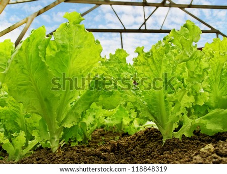 Lettuce is growing in a greenhouse. - stock photo
