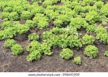 Lettuce is growing on a soil ,Agriculture field with rows of green lettuce and canal - stock photo