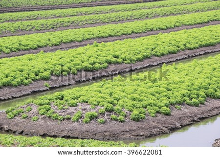 Lettuce is growing on a soil ,Agriculture field with rows of green lettuce and canal (Diagonally ) - stock photo