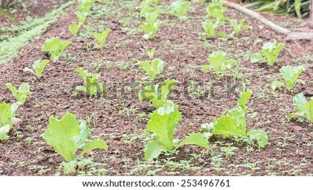 lettuce kitchen garden - stock photo