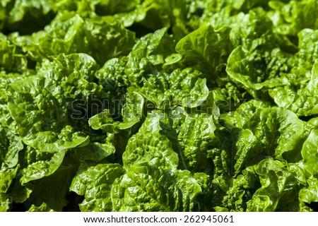 lettuce leaves background - stock photo