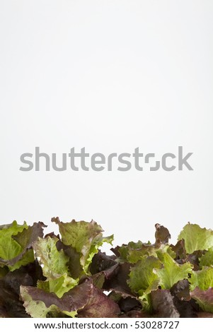 Lettuce leaves growing in a pot on white - stock photo