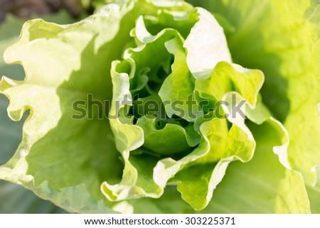 lettuce leaves in the vegetable gardening - stock photo