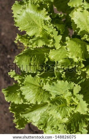 lettuce leaves on the branches in garden grows