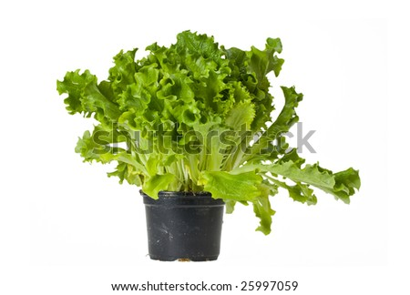 lettuce plant in a pot isolated on white