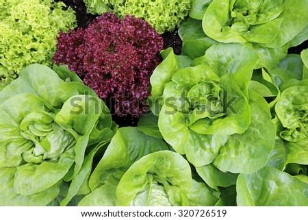 Lettuce Plants at Vegetable Garden  - stock photo