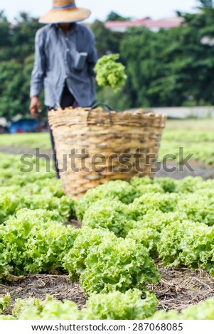 Lettuce plants field with rural farmer background