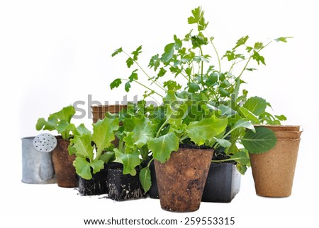 lettuce plants in biodegradable pots on white background - stock photo