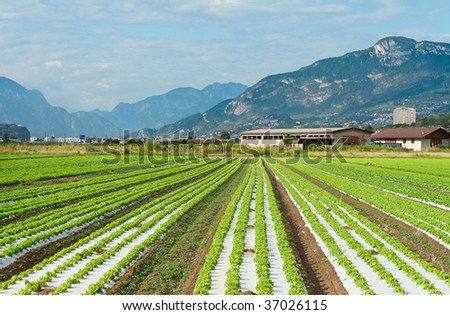 Lettuce rows (Agricultural fields in Trento, Northern Italy) - stock photo