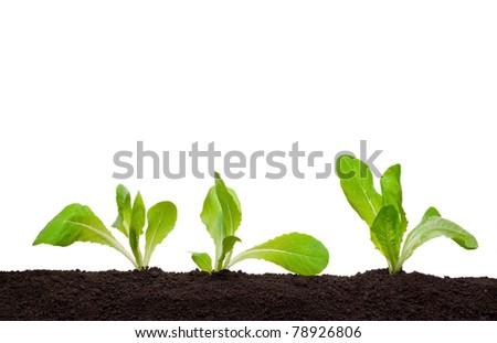 Lettuce seedling in soil - stock photo