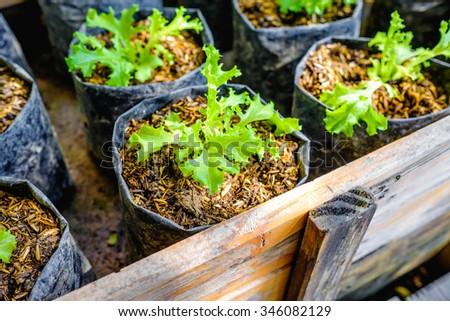 lettuce seedlings - stock photo