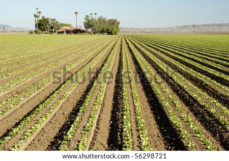 Lettuce seedlings in a field in Arizona - stock photo