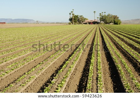 Lettuce seedlings in a field in Arizona