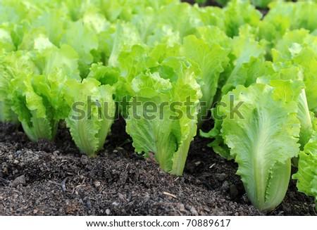 Lettuce seedlings in a field in asia - stock photo